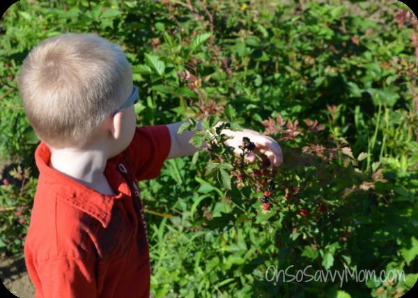 Little Brother Blackberry Picking