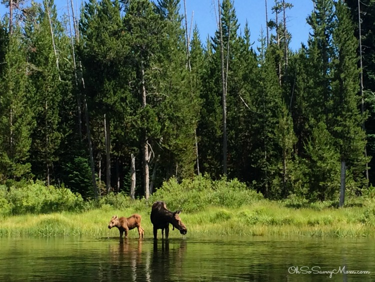 Mother Moose and Baby on river Island Park, Idaho